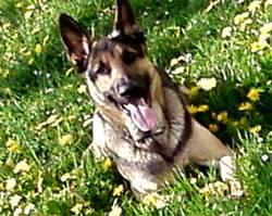 Tayrone , chien Berger allemand