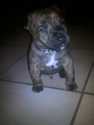 Tayson, chien American Staffordshire Terrier
