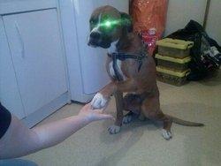Tayson, chien Boxer