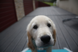 Tayson, chien Golden Retriever