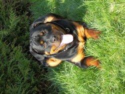 Tayson, chien Rottweiler