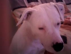 Tayson, chien Dogue argentin