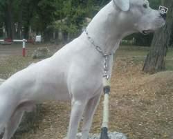 Tayzon, chien Dogue argentin