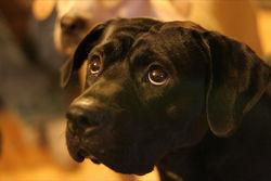 Taz, chien American Staffordshire Terrier