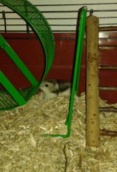 Taz, rongeur Hamster