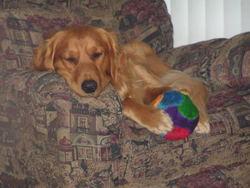 Taz, chien Golden Retriever