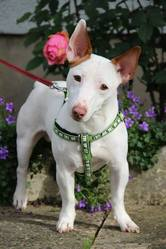Taz, chien Jack Russell Terrier