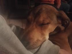 Taz, chien Labrador Retriever