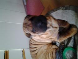 Tazou, chien Shar Pei