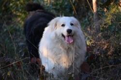 Tchakti, chien Chien de montagne des Pyrénées