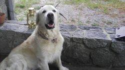 Tchao, chien Golden Retriever