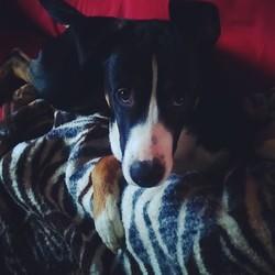 Tcharney, chien Boxer