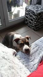 Tchek, chien American Staffordshire Terrier