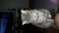 Tchétché, chat Européen