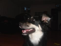 Tchicksy, chien Border Collie