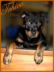 Tchico, chien Rottweiler