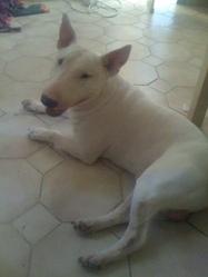 Tchico, chien Bull Terrier