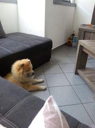 Tchika, chien Chow-Chow