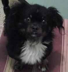 Tchizi, chien Anglo-Français de petite vénerie