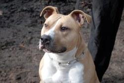 Tchoé, chien American Staffordshire Terrier
