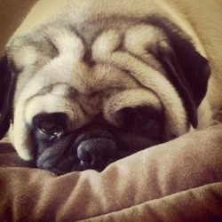 Tchoky, chien Carlin
