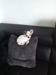Tchoupi, chien Chihuahua
