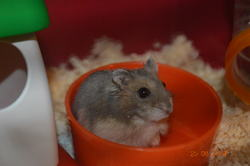 Tchoupi, rongeur Hamster