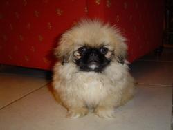 Tchoupi, chien Pékinois