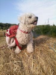 Tchoupi, chien Bichon à poil frisé