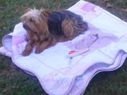 Tchoupi, chien Yorkshire Terrier
