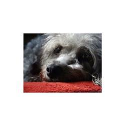 Tchoupi, chien Beagle