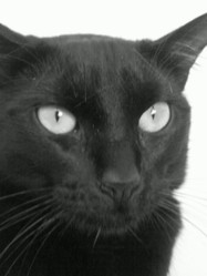 Tchoupie, chat Européen
