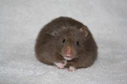 Tds Atchoum, rongeur Hamster