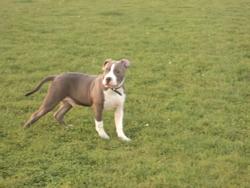 Teaser, chien American Staffordshire Terrier