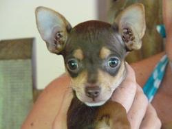Techi, chien Chihuahua