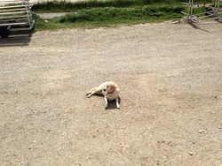Tecky, chien Labrador Retriever