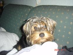 Teddy, chien Toy Terrier anglais noir et feu