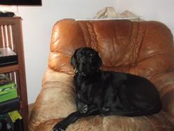 Teddy, chien Braque allemand à poil court