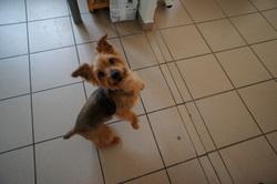 Teddy, chien Yorkshire Terrier