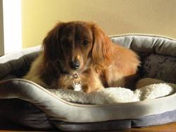 Teddy, chien Teckel