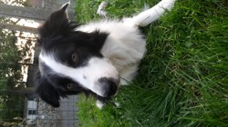 Teddy, chien Border Collie