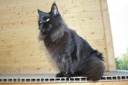 Teddy, chat Maine Coon
