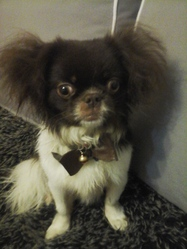 Teddy, chien Pékinois