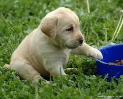 Teddy, chien Labrador Retriever