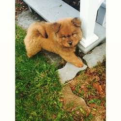 Teddy, chien Chow-Chow