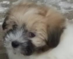 Teddy, chien Coton de Tuléar