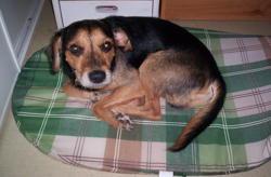 Teddy Au Paradis, chien Jagdterrier