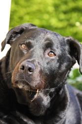 Teddy Buddy Bear , chien Labrador Retriever