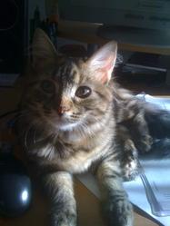Zeina, chat Européen