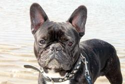 Teemo, chien Bouledogue français